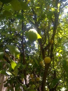 lemontree 042713